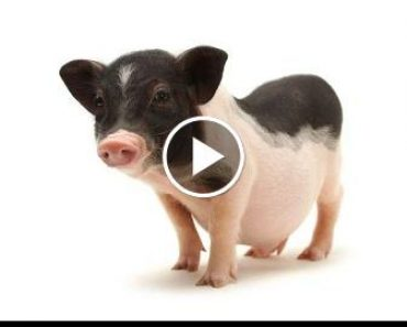 Myth of Mini Pigs &  Pigs | Pet Pigs 6